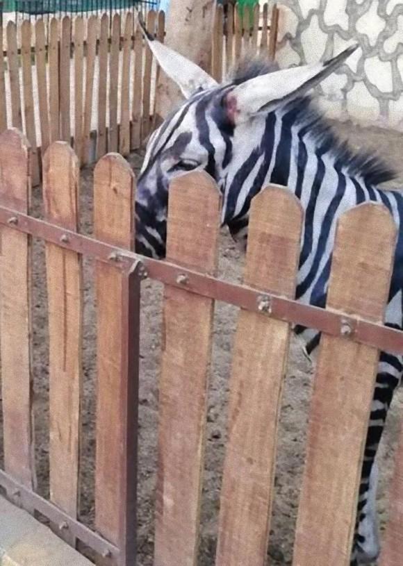 zebra4