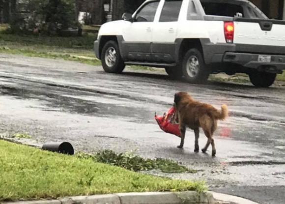 食糧は確保してますから。ドッグフードの袋を口にくわえハリケーン被害にあった町の道路を歩く1匹の犬(米テキサス州)