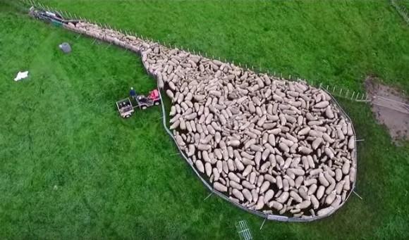これは巨大なる生命体。ドローンで撮影した羊の群れが一斉に移動する壮大なる映像