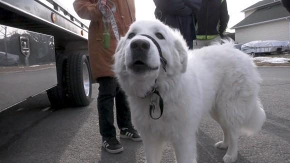 散歩中に発作を起こした飼い主を助けるため、犬が体を張って車を止める