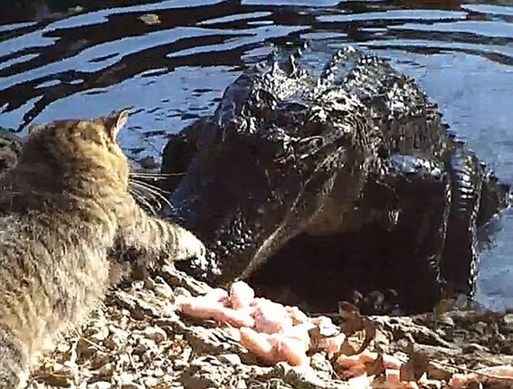cat_vs_alligator_03