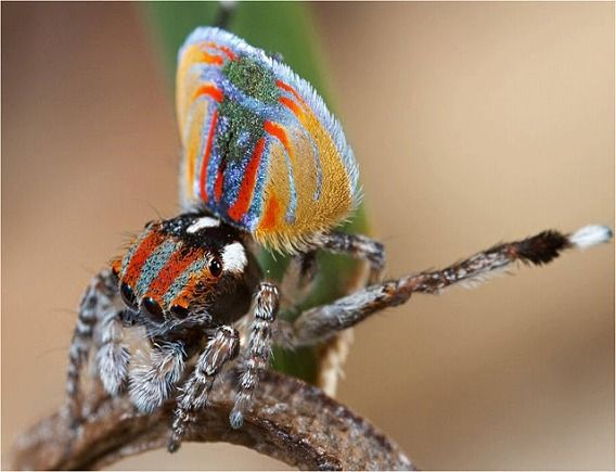 Peacock spider 9