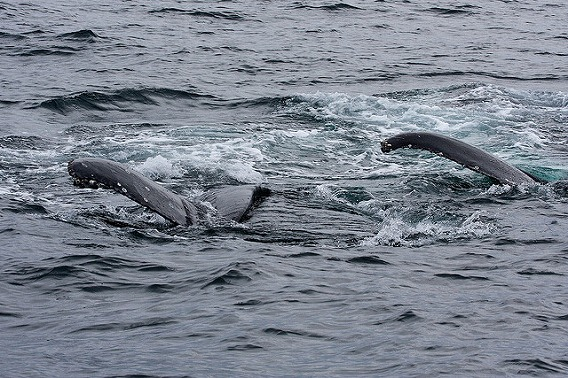 synchronized swimming animals 14