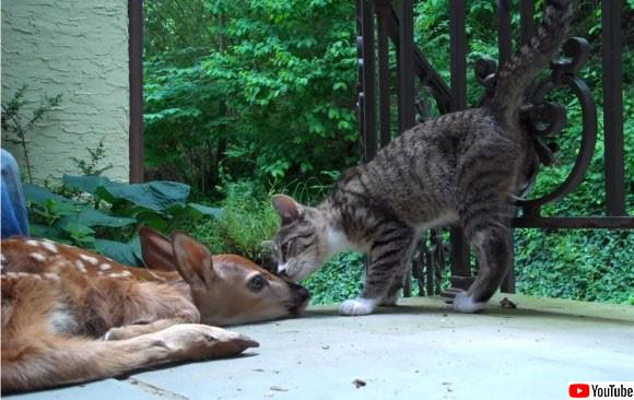 生まれたばかりの小鹿を保護したところ、初めて見る小鹿に興奮が抑えきれない子猫
