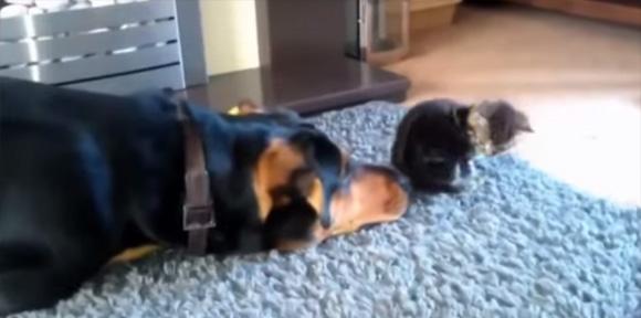 殴られても蹴られても・・・猫好きな犬たちの面白映像総集編