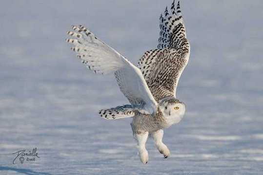 Snowy-Owl-21