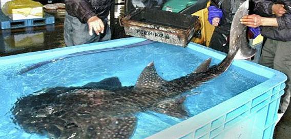 頭がエイで体はサメ。愛媛県で水...