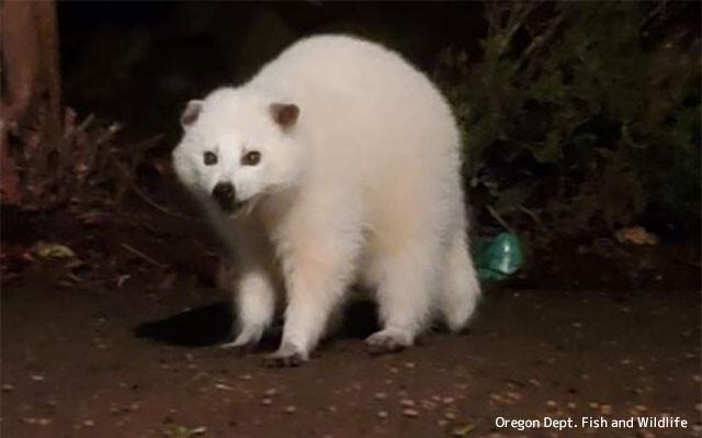 まっしろしろすけ。白いアライグマ(白変種)が発見される