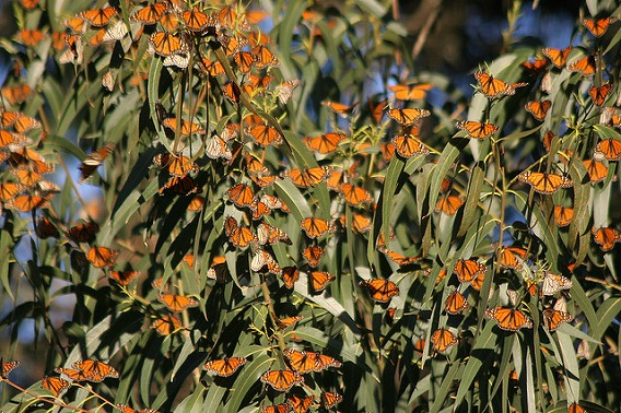 monarch butterfly migration 1