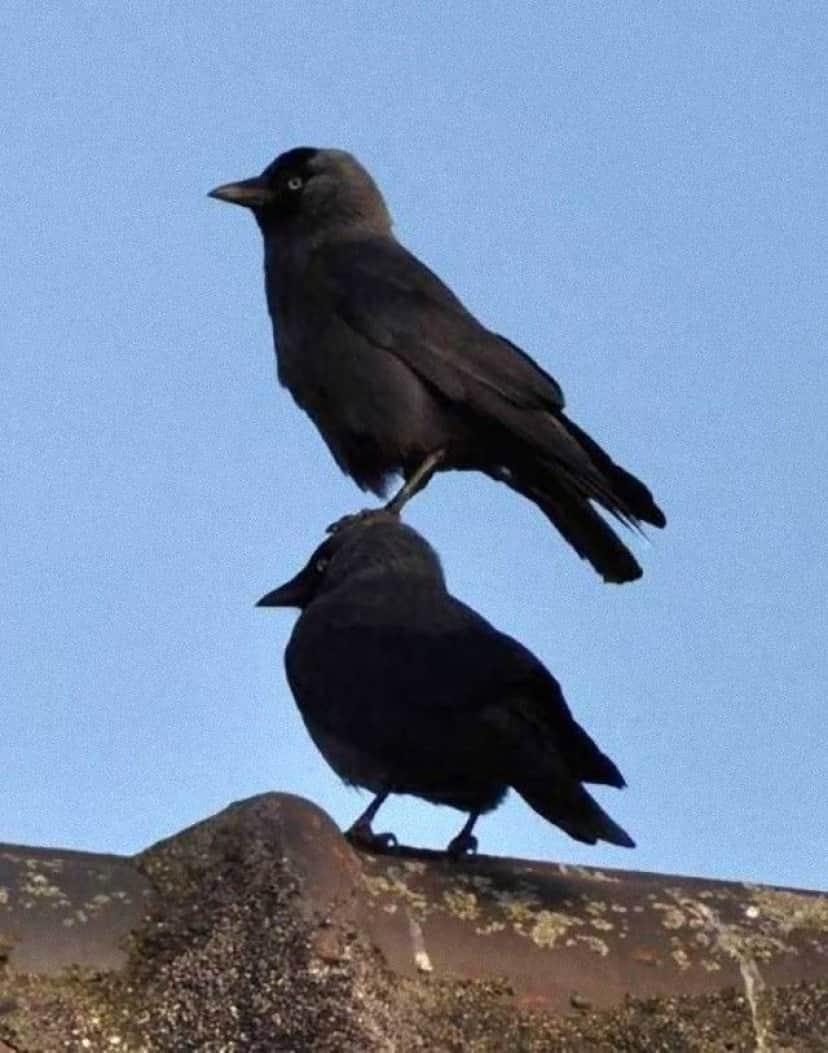 crowsnanimals11_e