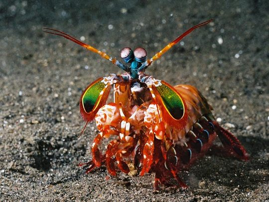 Mantis-Shrimp2