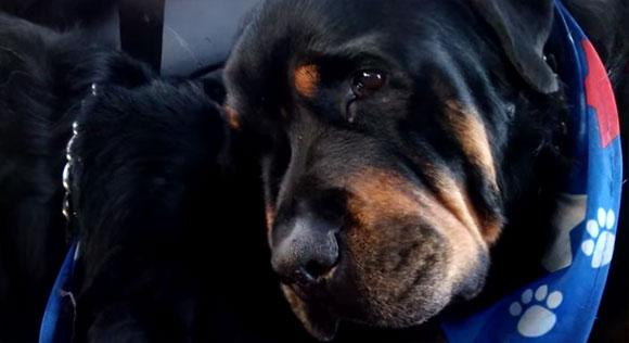 犬には人間と同じような感情がある。悲しそうな表情で目に涙を浮かべ、亡くなった兄弟犬の体から離れようとしない犬