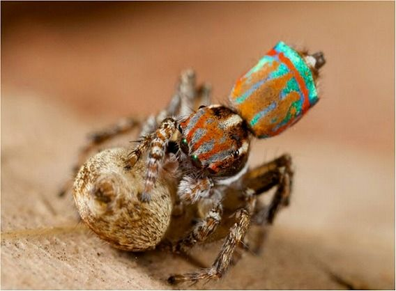 Peacock spider 17