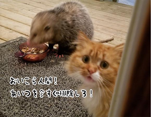 野生のオポッサムがあらわれた。猫の餌を食べ始めた。困り果てた猫、飼い主に「おまえがなんとかしろ」と訴え始める