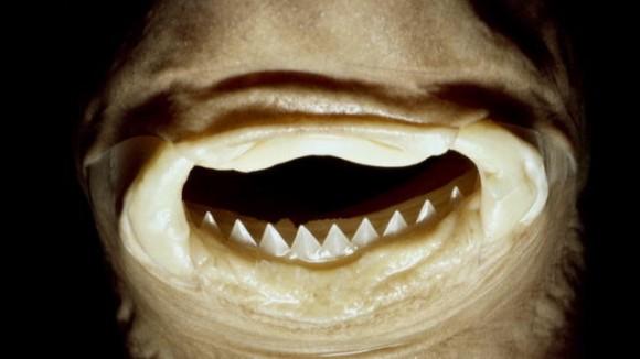 クジラの肉を丸ごとえぐりとる、鋭い歯を持つ深海生物「ダルマザメ」