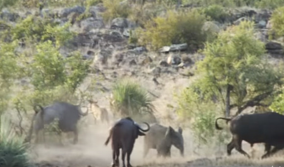 バッファロー(水牛)がライオンに囲まれたゾウの子どもを助ける