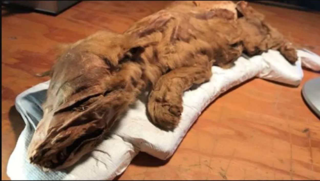 完璧な保存状態のオオカミのミイラを発見