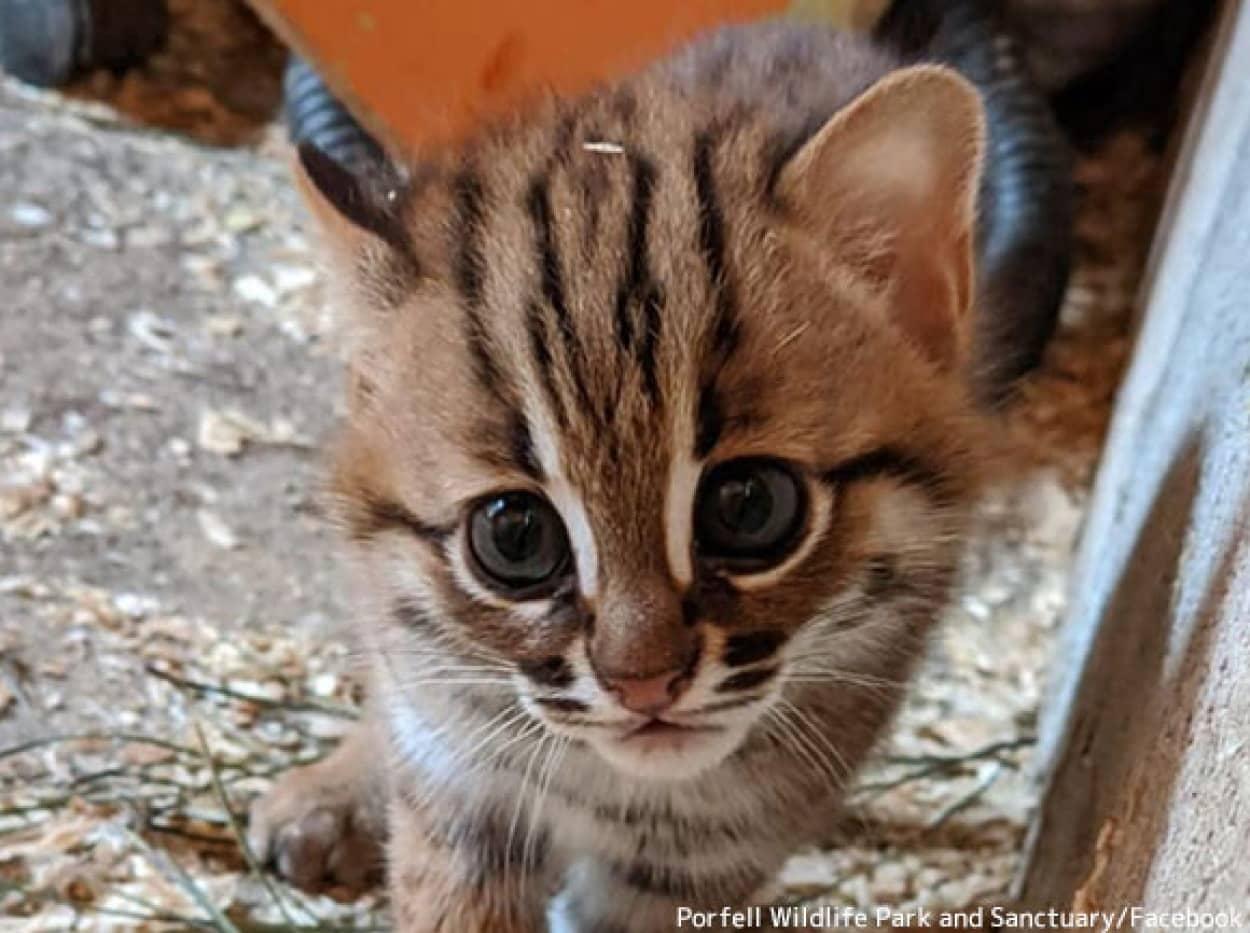 サビイロネコの子猫