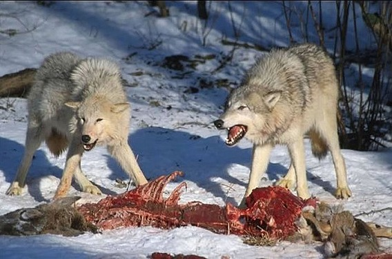 wolf_24