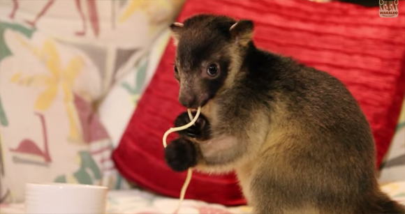 食べて登ってまた食べる。キノボリカンガルーを飼っているお宅の日常