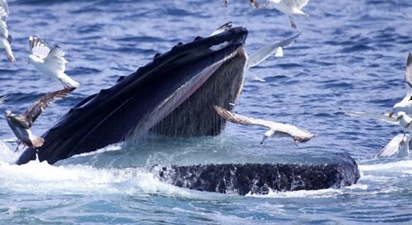 「ザトウクジラは巨大な止まり木」 ザトウクジラとカモメの群れの迫力ある写真