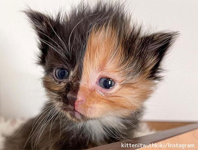 顔の半分が異なる柄のキメラテイストな子猫が住宅の壁の中から発見される(アメリカ)