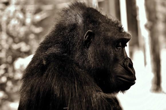 gorilla-2944021_640_e