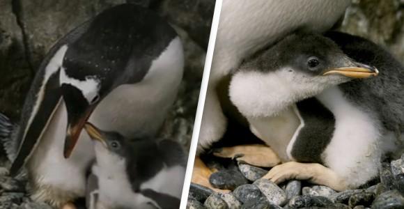 ペンギンのゲイカップル、2度目の卵孵化に成功
