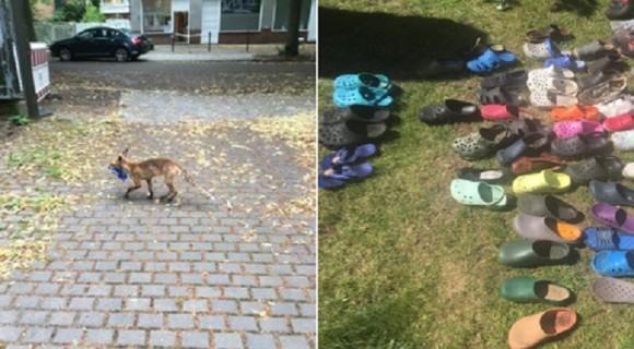 靴マニアの野生のキツネ