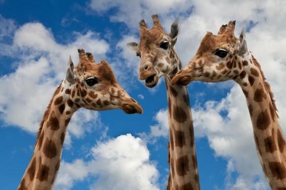 キリンは音波通信ができる?知っている人も知らない人も。動物たちに関する面白い16の雑学