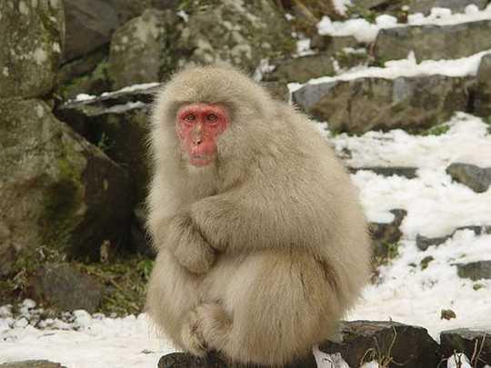 snow-monkeys-