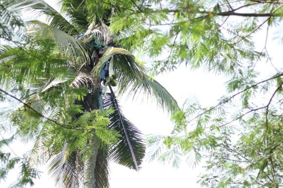 高さ18メートルのヤシの木の上で3年間、一度も降りずに暮らし続けていた男性(フィリピン)