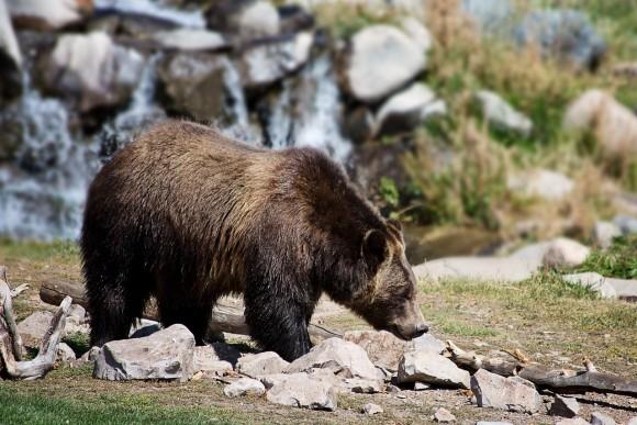 grizzly-bear_pixabay