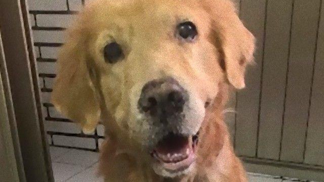 病に苦しむゴールデンレトリバー、最後の散歩。愛犬に飼い主女性が手紙を残した