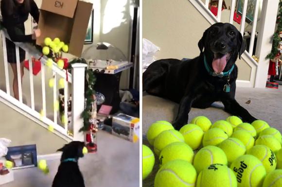 ボール大量天国!クリスマスプレゼントに大量のテニスボールをもらって大喜びの犬。そのはしゃぎっぷりったら!