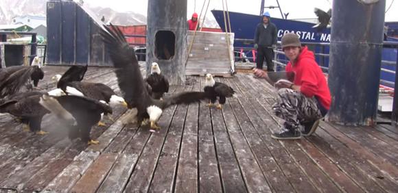 アラスカの鳩はハクトウワシ