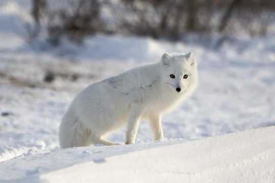 Snow-White-Arctic-Fox-1