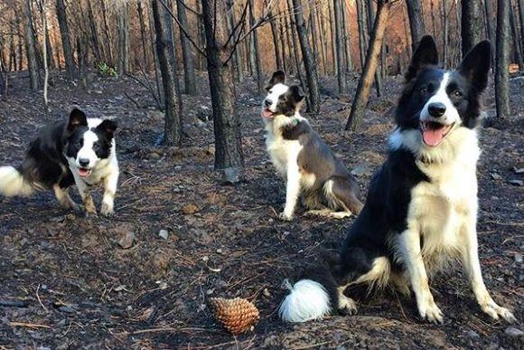 リュックを背負ったボーダーコリーが山火事後の災害現場で大活躍!一体何をしているのか?(チリ)