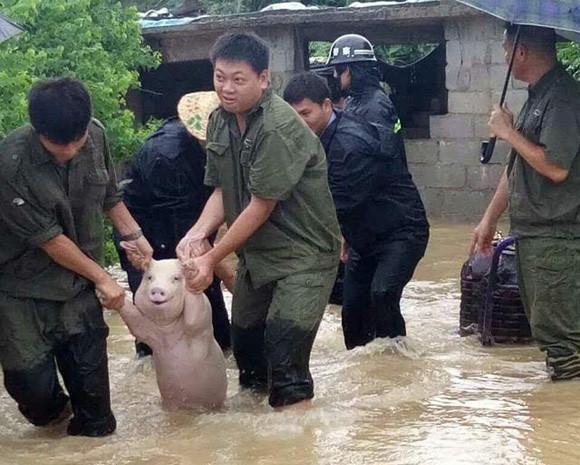 水害から救助されたブタの笑顔がまぶしすぎたのでコラ職人頑張る