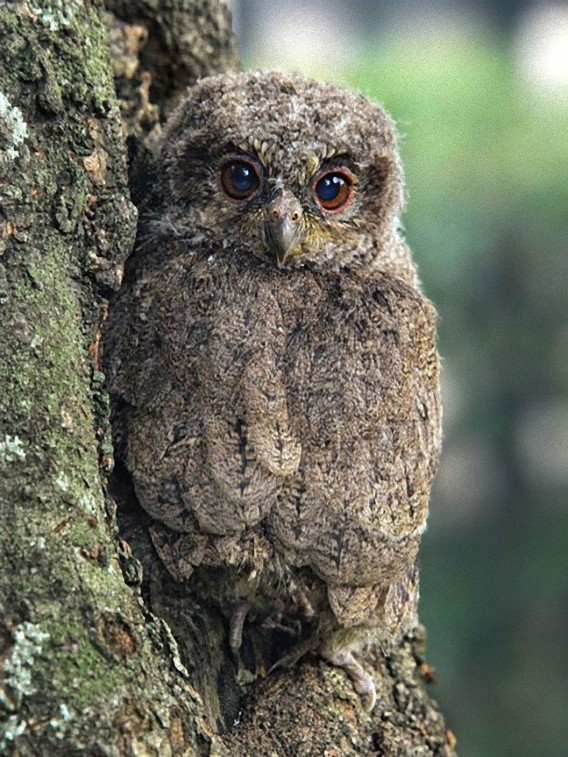 camouflaged_owls_17_e