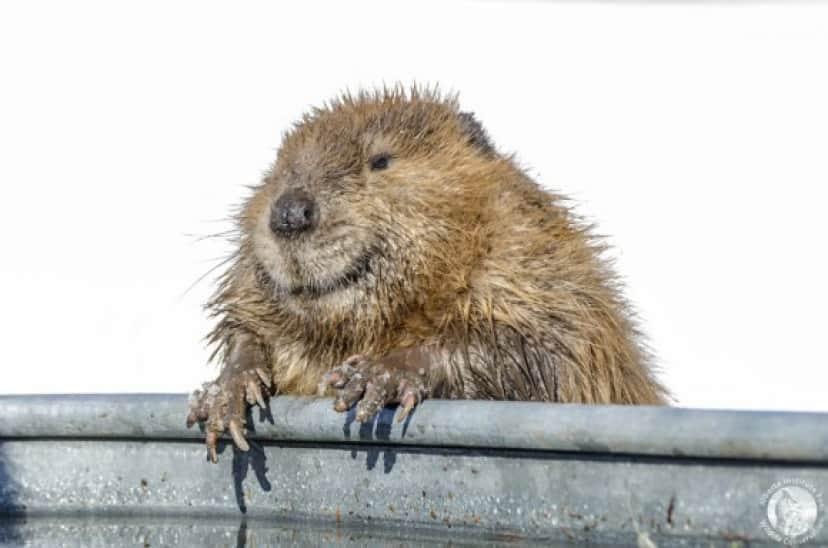 beaver1_e
