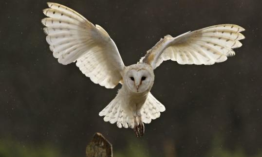 Barn-owl-012_e