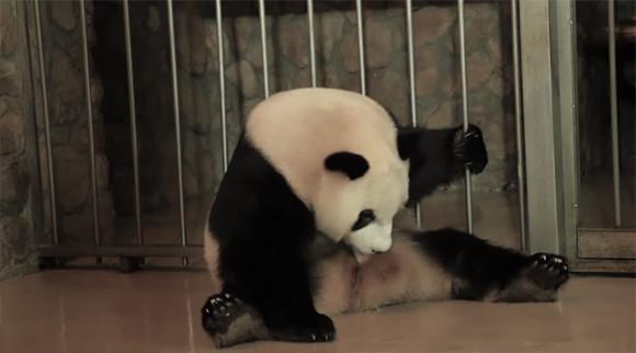 スッポポポ~ンっ!パンダの出産の瞬間が衝撃的なほどクイックだった