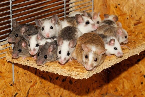 mice-800875_640_e