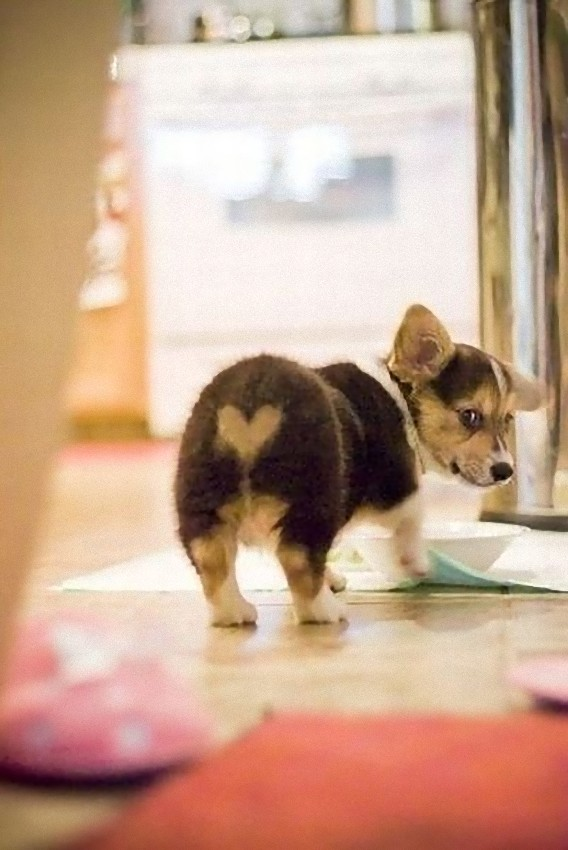photos_of_corgi_butts_32_e