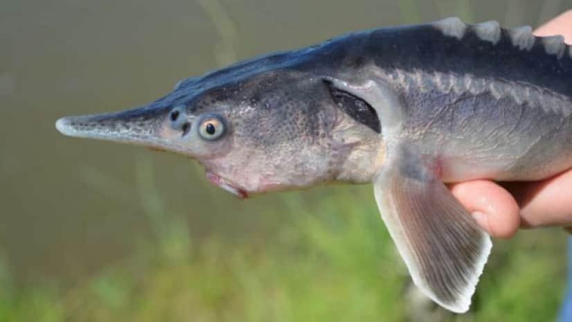 ハイブリッド魚