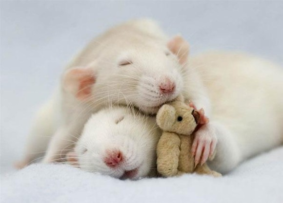 rats-with-teddy-bears-jessica-florence-8_e