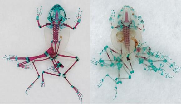 化学物質により異形となったカエルたちの透明骨格標本