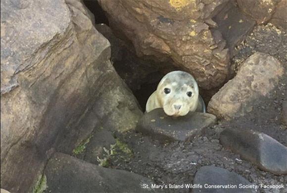 岩穴にはまり込んでしまったアザラシ、辛抱強く人間に救助されるのを待っていた(イギリス)