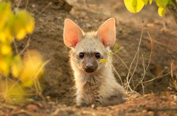 大きな耳に黒飴のような目。オオカミとついているけどオオカミじゃない「アードウルフ(ツチオオカミ)」にズームイン!